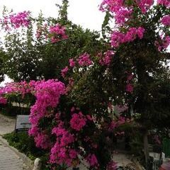 Bougainville in voller Pracht